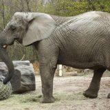 Kanabis i životinje: Anksiozna slonica u Zoo vrtu u Varšavi dobiće ulje ekstrakta kanabisa 11