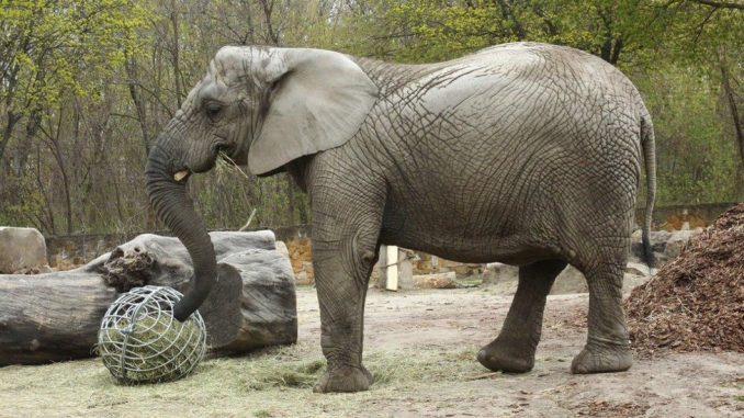 Kanabis i životinje: Anksiozna slonica u Zoo vrtu u Varšavi dobiće ulje ekstrakta kanabisa 2