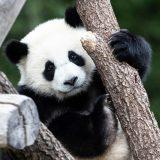 """Beba panda iz zoo vrta u Vašingtonu dobila ime """"Malo čudo"""" 10"""