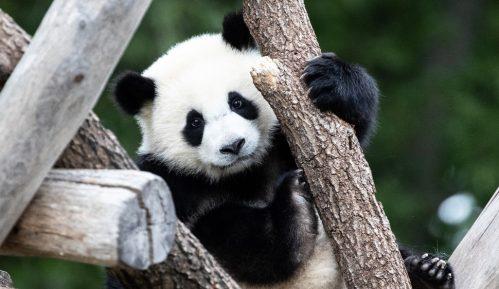 """Beba panda iz zoo vrta u Vašingtonu dobila ime """"Malo čudo"""" 5"""