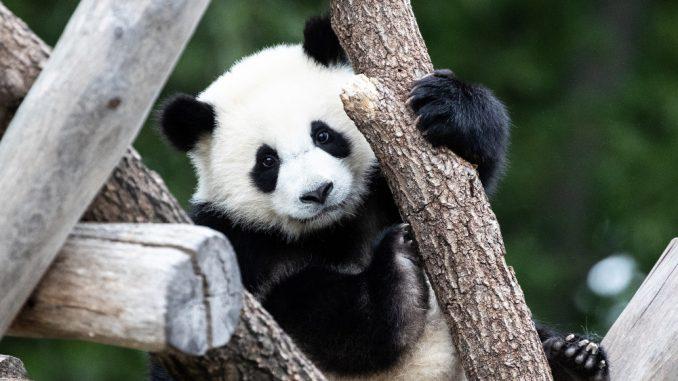 """Beba panda iz zoo vrta u Vašingtonu dobila ime """"Malo čudo"""" 1"""