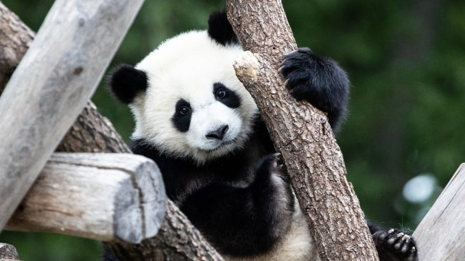 """Beba panda iz zoo vrta u Vašingtonu dobila ime """"Malo čudo"""" 2"""