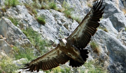 CINS:  Let iznad Uvca kojim su ugrožene zaštićene ptice možda nije ni bio prijavljen 11
