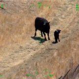 Helikopter spasavao par u Kaliforniji od napada krave i teleta 12