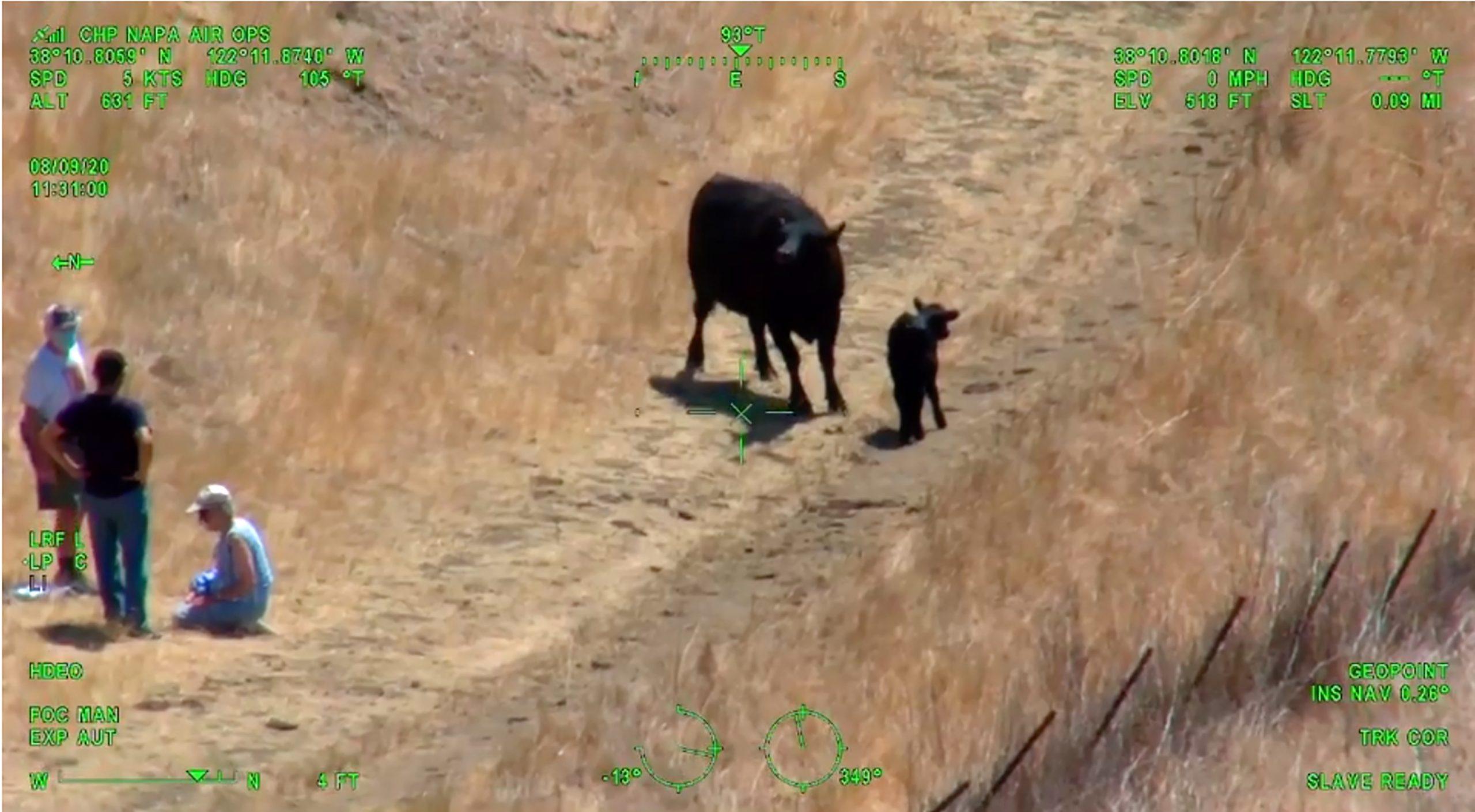 Helikopter spasavao par u Kaliforniji od napada krave i teleta 1