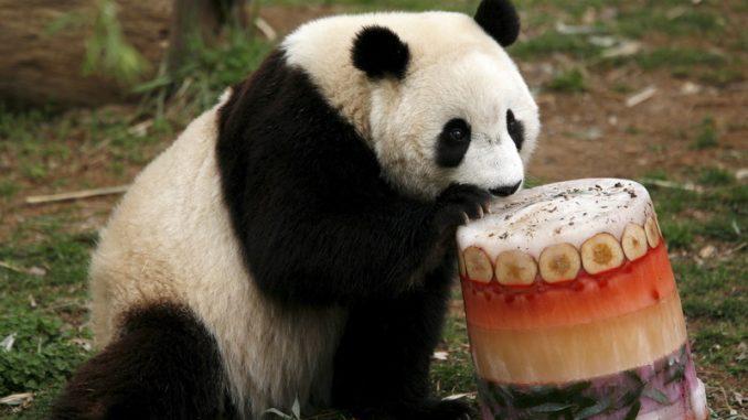 Nacionalni zoološki vrt u Vašingtonu čeka rođenje mladunčeta pande 5