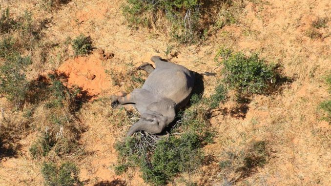 Zimbabve istražuje misterioznu smrt 11 slonova 5