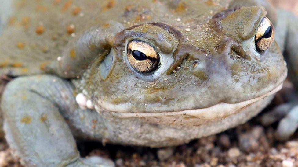žaba u pustinji Arizona