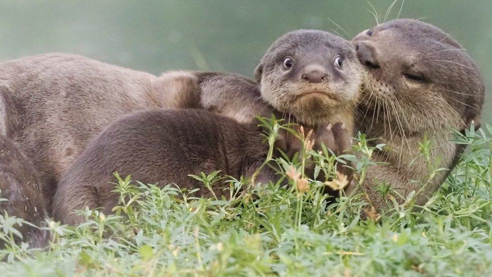 mlada vidra i njena porodica