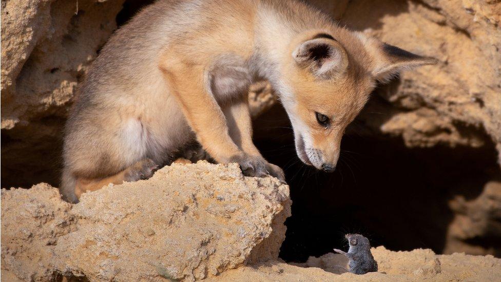 lisica gleda u miša