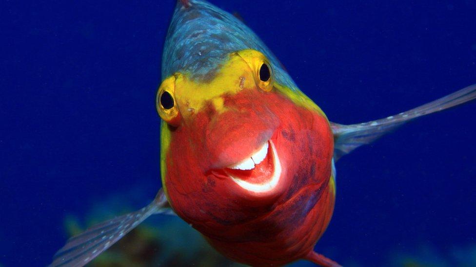 riba papagaj