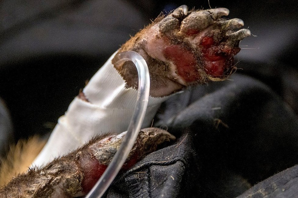 A coati's foot is seen badly burnt with a medical tube going into it