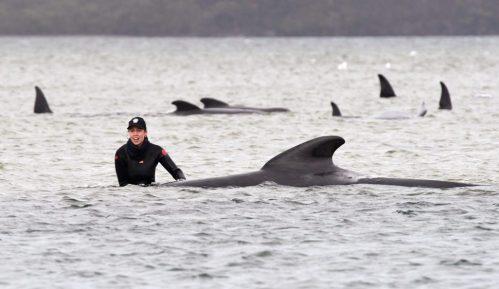 Skoro 500 kitova nasukano u australijskoj ostrvskoj državi 3