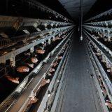 Vege zajednica: EU zabranila kavezni uzgoj životinja 4