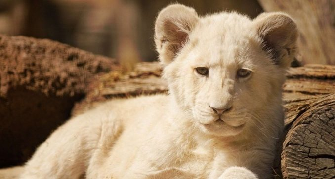 Mladunče belog lava koje je bilo u sudaru u Nemačkoj je dobro 3