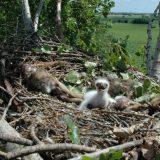 Dva mladunca orla krstaša prvi put obeležena satelitskim odašiljačima u Srbiji 6