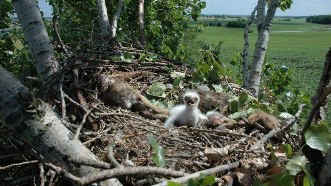 Na severu Banata sva tri para orlova krstaša uspešno izvela potomstvo 3