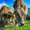 Četrdeset krava pobeglo iz klanice kod Los Anđelesa 22