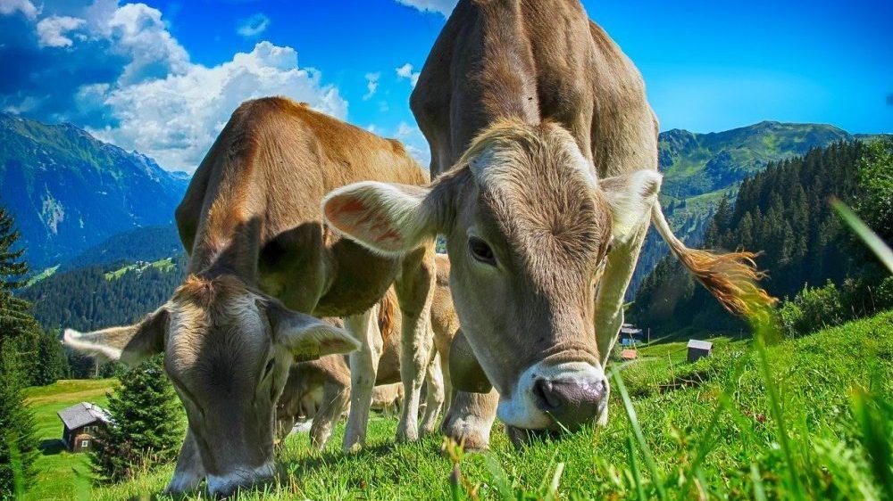 Četrdeset krava pobeglo iz klanice kod Los Anđelesa 1