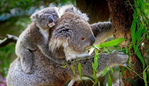 Ministrima u Australiji pretile ostavke zbog zaštite koala 8
