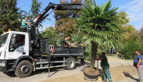 Zasađene palme na Kalemegdanu (FOTO) 11