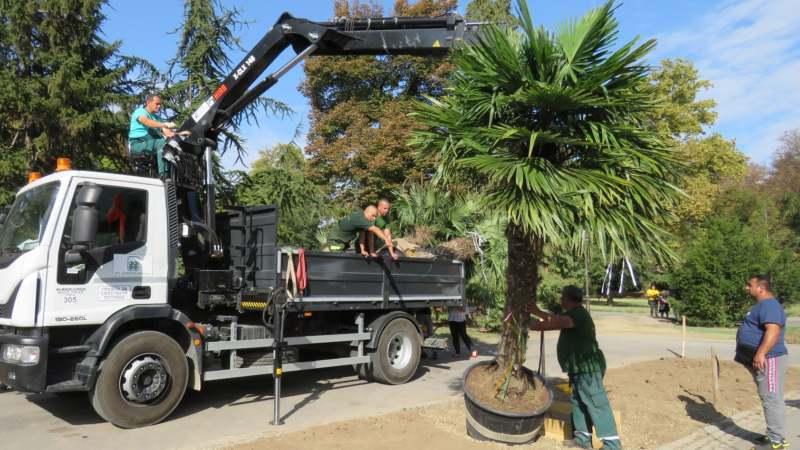 Zasađene palme na Kalemegdanu (FOTO) 1