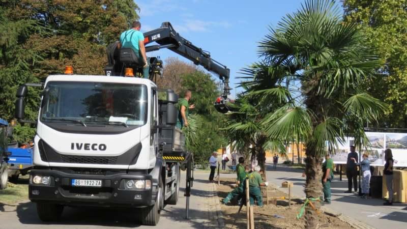 Zasađene palme na Kalemegdanu (FOTO) 3