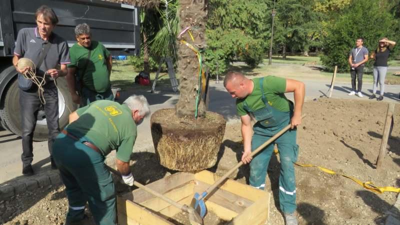 Zasađene palme na Kalemegdanu (FOTO) 2