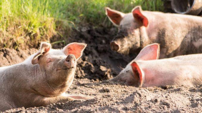 U Srbiji se od stoke najviše uzgajaju svinje 1