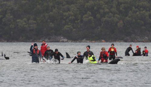 Masovno nasukavanje kitova u Australiji, najmanje 90 uginulo 1