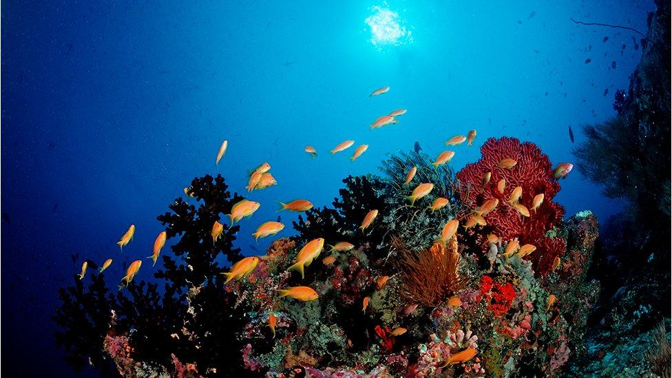 Coral reef with Anthias, Pseudanthias squamipinnis in Maldives, Indian Ocean, Meemu Atoll