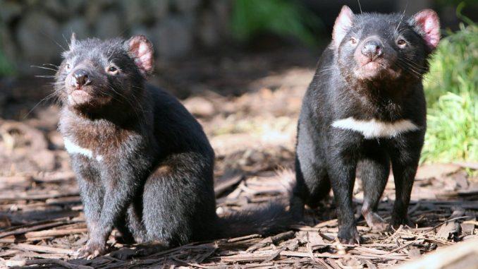 Životinje i Australija: Tasmanijski đavo vraćen u prirodu 1