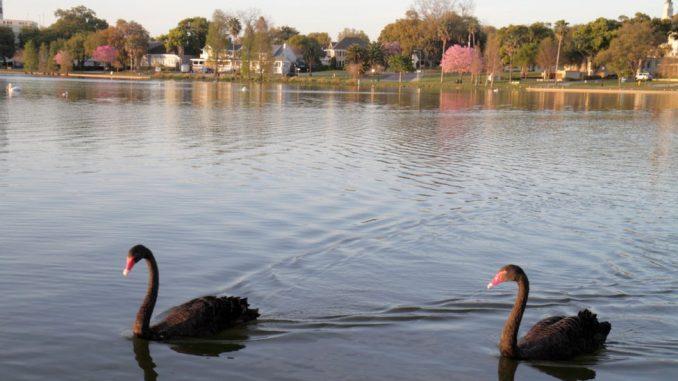 Američki gradić mora da proda labudove, poklon kraljice Elizabete, jer su se previše namnožili 4