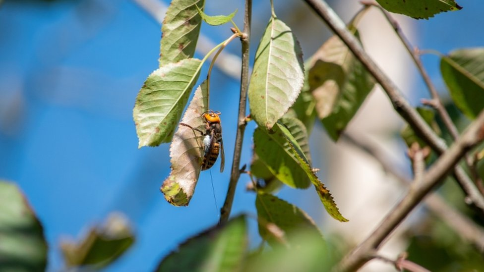 The nest of around 200 Asian giant hornets was found in a tree in the city of Blaine