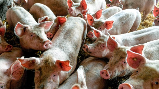 Pale cene i tražnja svinja i junadi, uvozi se smrznuto meso iz Evrope 4