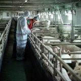 Srbija zemlja sa visokim rizikom od pojave afričke svinjske kuge 9