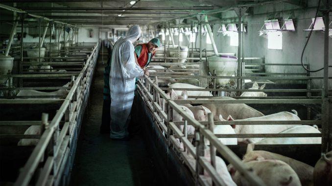 Srbija zemlja sa visokim rizikom od pojave afričke svinjske kuge 3