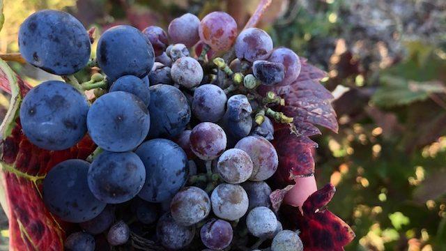 Vinari i vinoljupci u Srbiji danas slave Međunarodni Dan prokupca 4