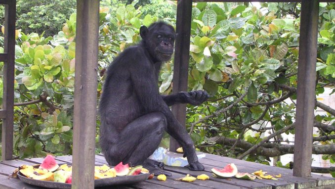 Šimpanze i starenje - sličnosti sa socijalnim životom ljudi 1