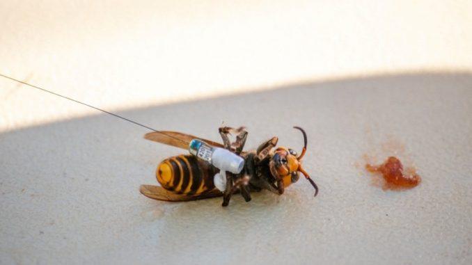 Životinje i insekti: Opasni stršljenovi-ubice i dalje pretnja za Amerikance 2