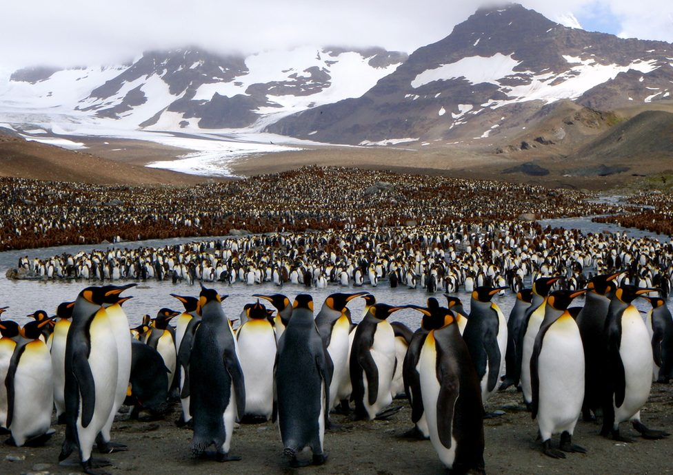 King penguins (c) George Lemann
