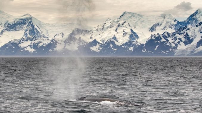 Životinje i lov: Plavi kitovi se vraćaju u vode u kojima su ih skoro istrebili 4