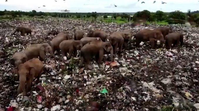 Životinje i plastika: Šri Lanka kopa rov kako bi slonove držala podalje od deponije sa đubretom 2