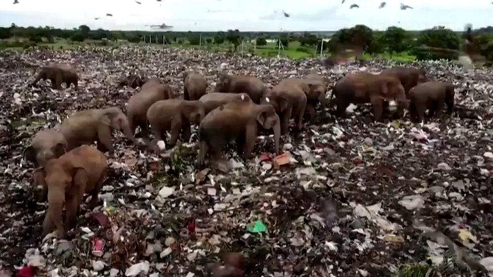 Elephants at a landfill site in Sri Lanka