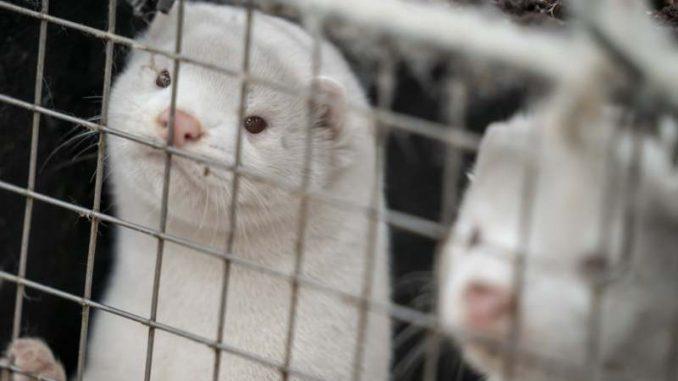 Posle kuna u Danskoj ubijaju i mačke pozitivne na korona virus 3