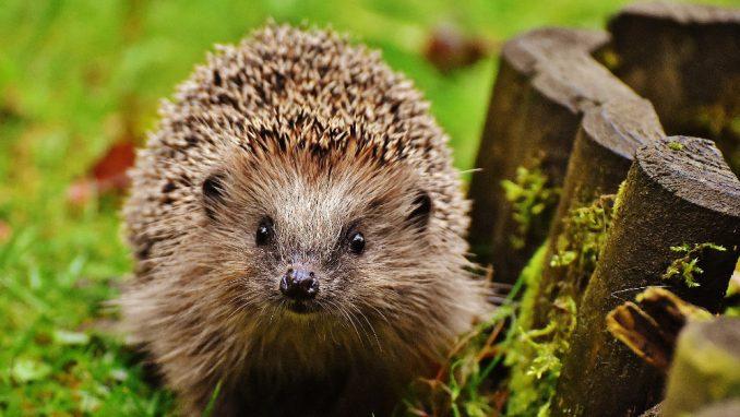 Zašto je jesen posebno opasna za ženke ježeva? 2