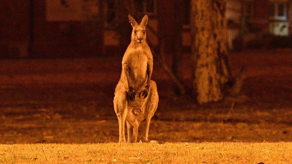 Divlje životinje se bore da nađu hranu i skrovište nakon požara