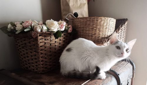 Mačke ne prenose koronu 9