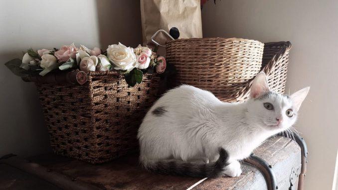 Mačke ne prenose koronu 1