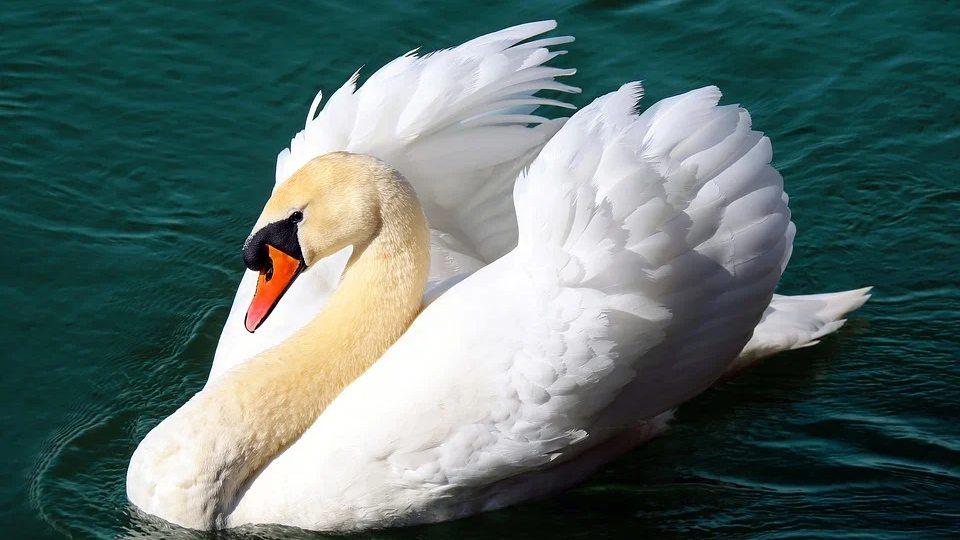 Uginuli labudovi kod Borče oboleli od ptičjeg gripa, nema opasnosti za ljude 1